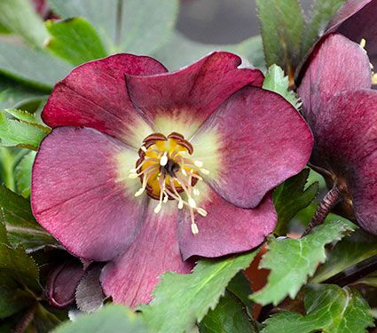 lenten rose planting instructions