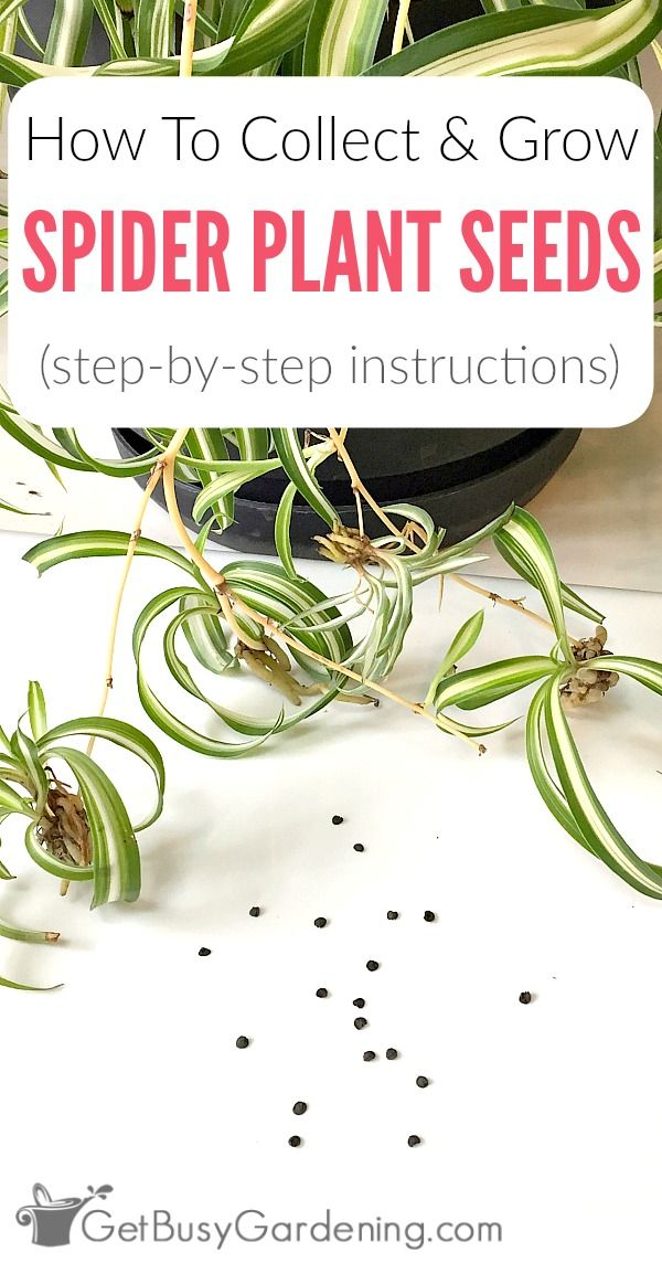 spider plant care instructions
